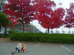 御勅使南公園の紅葉もまっ赤っ赤です!!